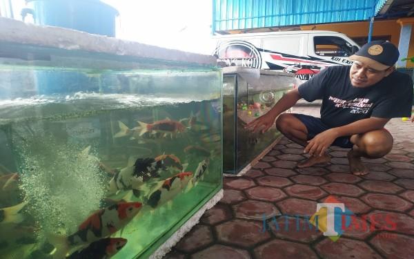 Dari Hobi, Pria Tulungagung Ini Jadi Pembudidaya Sukses Ikan Koi di Masa Pandemi