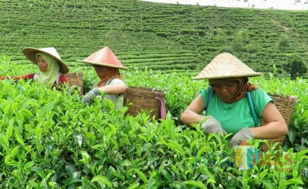 Perkebunan teh Sirah Kencong.(Foto : Malik Naharul/BlitarTIMES)