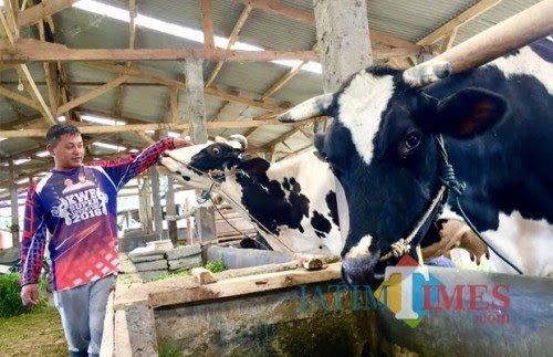 Salah satu peternak saat memberikan pakan kepada sapinya di Kota Batu. (Foto: Irsya Richa/MalangTIMES)