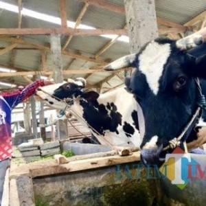 Lima Tahun Susu Sapi Dusun Brau Rambah Bali
