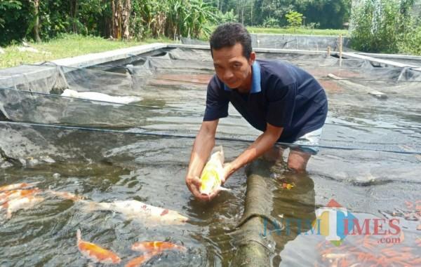 Suryo pembudidaya ikan koi di Desa Pranggang Kecamatan Plosoklaten. (Eko Arif S/Jatimtimes)