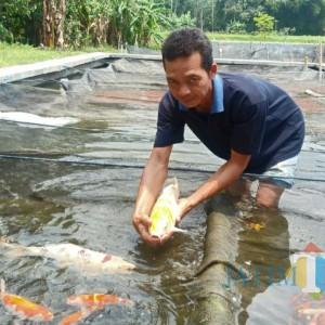 Tak Hanya Tahu, Kediri Juga Dikenal Punya Ikan Koi Unggulan