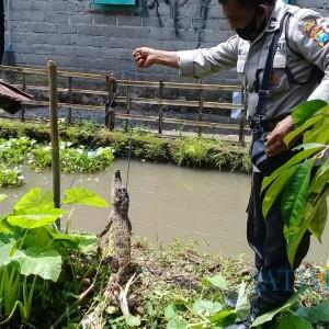 Penemuan Buaya Aligator Gegerkan Warga Gandusari Blitar