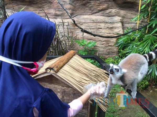 Salah satu pengunjung anak-anak sedang memberikan buah kepada lemur di Lemur Kingdom Jatim Park 2, Sabtu (31/10/2020). (Foto: Irsya Richa/MalangTIMES)