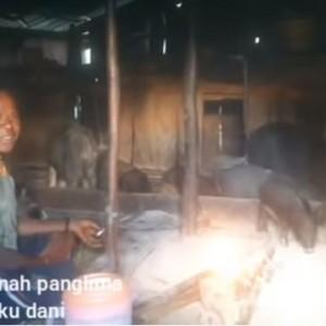 Di Papua, Warga Tidur dengan Belasan Babi di Rumah Sempit