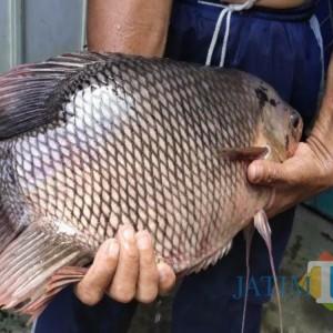"""Gerakan """"Not For Sale"""" Berbuah Hasil, Harga Ikan di Tulungagung Naik Signifikan"""