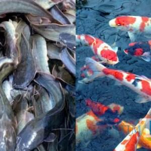 Merugi, Pembudidaya Ikan Gurami di Tulungagung Beralih ke Patin