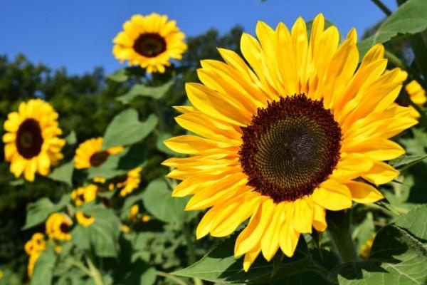 Bunga matahari (Foto: Old Farmer's Almanac)