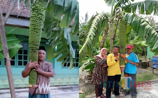 Pisang seribu yang panjangnya lebih dari 2 meter di desa Salak Kembang Kalidawir / Foto : Dayat / Tulungagung TIMES