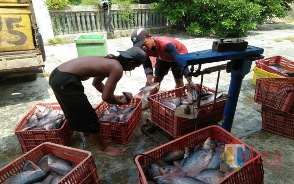 Ikan yang baru panen sebelum dinaikkan kendaraan harus ditimbang / Foto : Zaenal Arifin Aspigrata / Tulungagung TIMES
