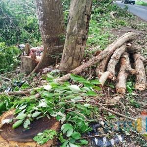 Kembali Sonokeling di Jalanan Tulungagung Ditebangi, JPIK: Ingat Kasus Pecurian Tahun Lalu