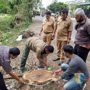 Pohon Sonokeling di Pinggir Jalan Tulungagung Ditebang, BKSDA Blitar Turun Tangan
