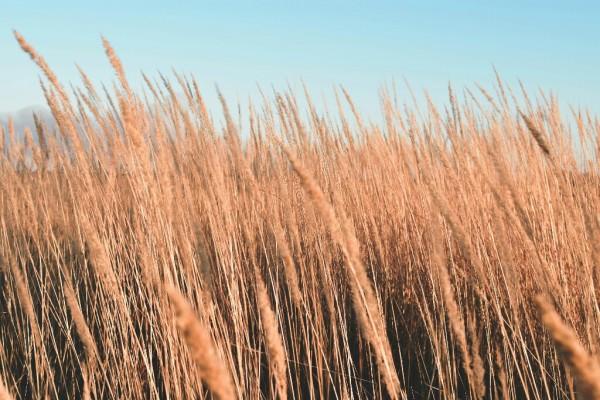 Ilustrasi tanaman alang-alang. (Foto: istimewa)