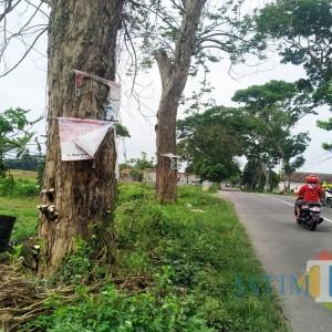 Batal Dicuri, 2 Sonokeling Raksasa di Desa Wonorejo Ini Dibikin Mati, Ini Modusnya