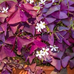 Bunga Kupu-Kupu, Tanaman Hias Rona Ungu dengan Aroma Harum yang Menyegarkan