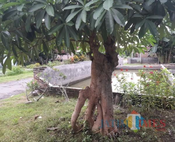 Manfaat Pohon 'Angker' Pule, Kini Banyak Diburu Orang