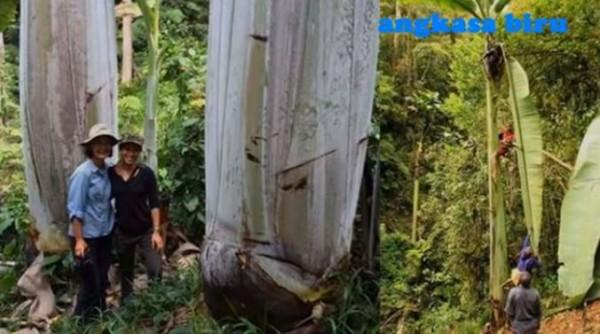 Ajaib, Ini Penampakan Pohon Pisang Raksasa dan Pohon Durian, Buahnya Tumbuh di Bawah