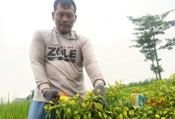Seger, salah satu petani cabai saat memanen hasil panenan. (Eko Arif s/JatimTIMES)