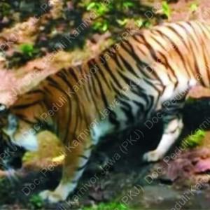Muncul Harimau Jawa di Gunung Wilis, BKSDA Pasang Kamera Pengintai