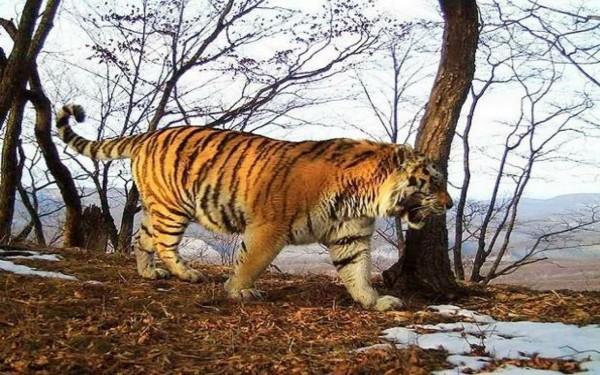 Jejak Harimau Jawa di Tulungagung Diragukan, Ini Dugaan Kades Nyawangan