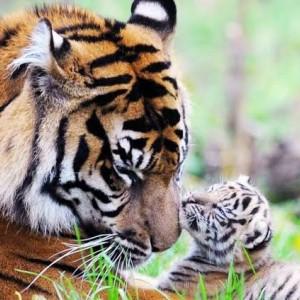 Beredar Video Penampakan Harimau di Tulungagung, ini Penjelasan BKSDA