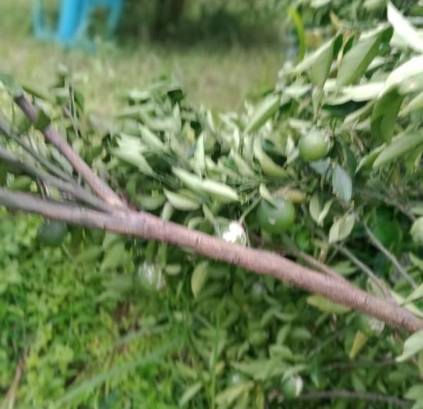 Akui Ada Pohon Jeruk Milik Desa Dirusak, Kades Selorejo: Kami Akan Laporkan ke Polisi