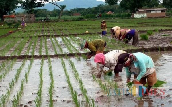 Musim Tanam di Tulungagung, Petani membutuhkan pupuk / Foto : Dardiri Dardak / Tulungagung TIMES