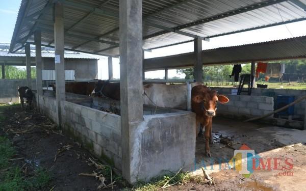 Kondisi kandang komunal milik Gapoktan Kecamatan Diwek. (Foto : Adi Rosul / JombangTIMES)