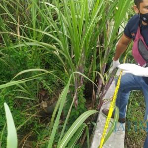 Bikin Geger, Mayat Wanita Tanpa Identitas Ditemukan Membusuk di Lahan Tebu
