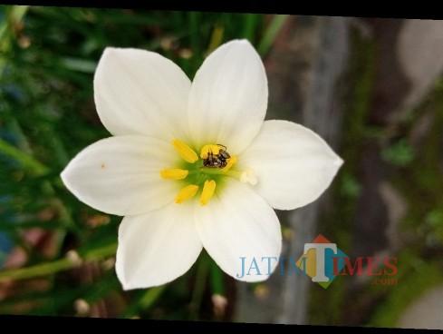 lebah lanceng saat mencari nektar (Joko Pramono for Jatim TIMES)