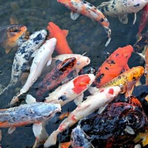 Tips Atasi Ancaman Air Hujan agar Ikan Koi Tidak Stres dan Mati