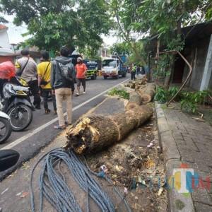 Satu Pohon Trembesi Tumbang, 7 Sepeda Motor Jadi Korban
