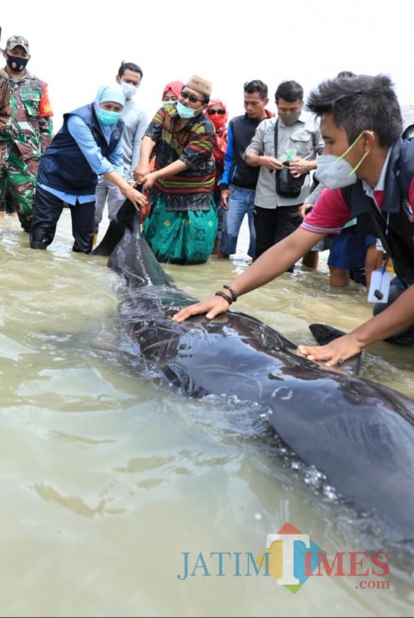 Gubernur Khofifah saat membantu mengevakuasi paus terdampar di Bangkalan. (Foto: M Bahrul Marzuki/JatimTIMES)