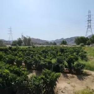 Abu Jahal Ternyata Suka Berkebun, Begini Penampakan Kebunnya yang Terkenal Subur Sampai Sekarang