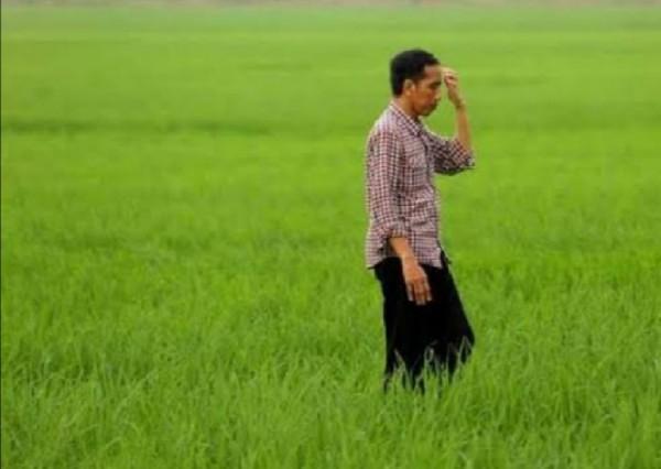 Presiden Jokowi di tengah sawah (kumbanews.com)
