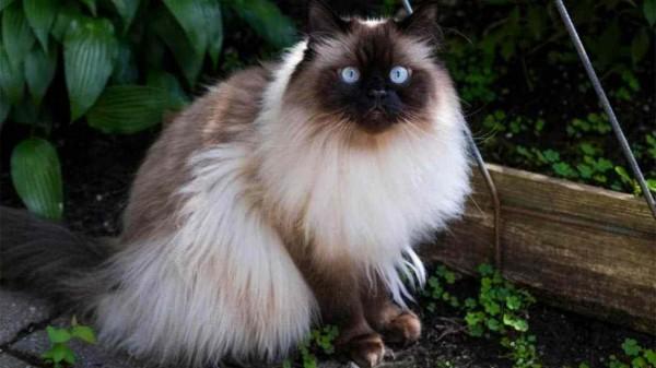 Kucing Himalaya (Foto: VELINA.INFO)