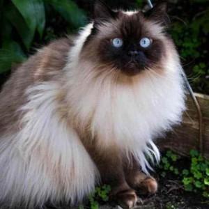 Ingin Pelihara Kucing Himalaya? Ketahui Fakta Unik dan Tips Merawatnya