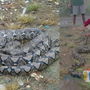 Aksi Pawang Cilik, Taklukkan Ular Piton Sepanjang 3 Meter