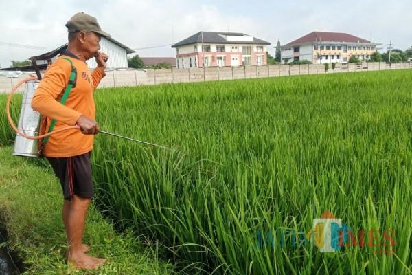 Seorang petani menyemprotkan obat kimia ketanaman padi untuk mencegah berkembang biaknya hama. (Foto: Bams Setioko/JatimTIMES)
