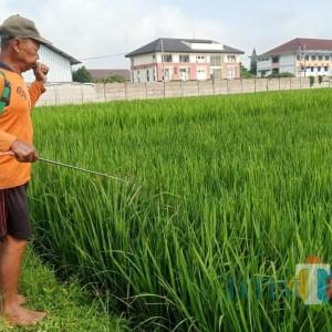 Cegah Hama, Dinas Pertanian Kabupaten Kediri Bagikan Obat Kimia