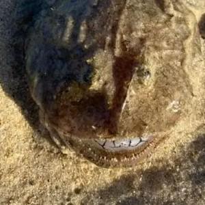 Viral Temuan Ikan Aneh, Punya Deretan Gigi seperti Manusia
