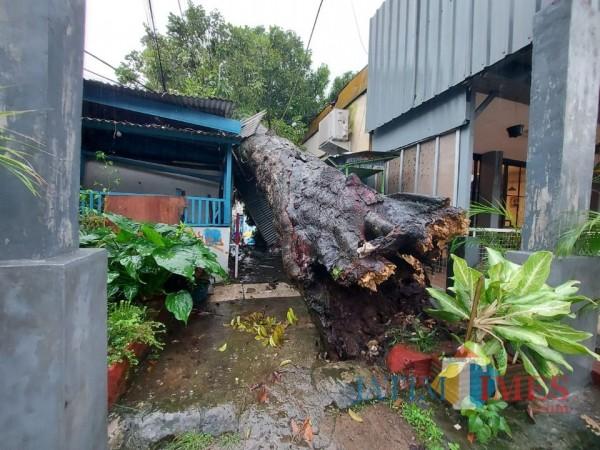 Kondisi Pohon Kenari yang berada di Jalan MH Thamrin Gang Tiga, Kelurahan Klojen, Kecamatan Klojen, Kota Malang, Minggu (14/3/2021). (Foto: Tubagus Achmad/MalangTIMES)