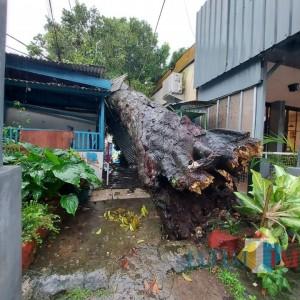 Akibat Hujan Lebat Disertai Angin, Pohon Kenari di Jalan MH Thamrin Tumbang