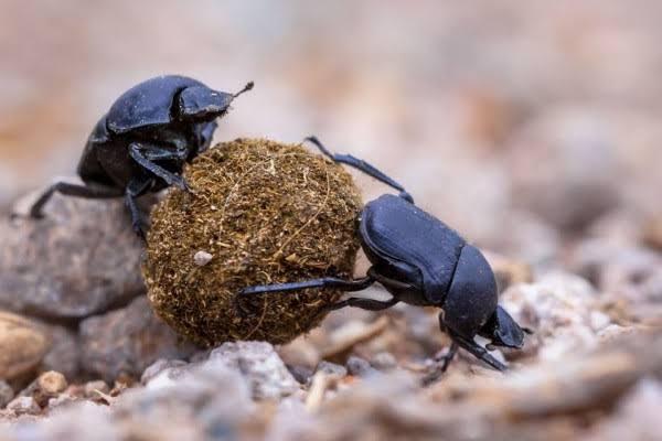 Kumbang kotoran (Irishnews).