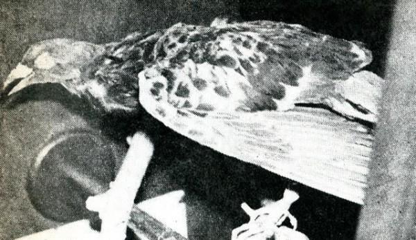 Letnan Anumerta, burung merpati yang menjadi pahlawan Indonesia (foto: istimewa)