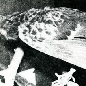 Kisah Heroik Burung Merpati yang Jadi Pahlawan di Indonesia dan Amerika Serikat
