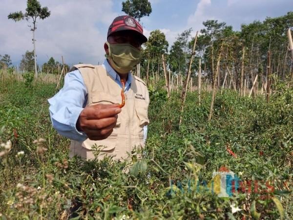 Salah satu petani di Kabupaten Malang saat menunjukkan hasil cabai yang dia tanam. (Foto: Dokumen JatimTIMES)