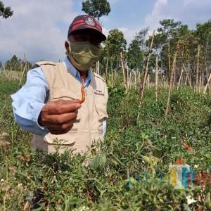 Faktor Cuaca, Pemkab Malang Tak Bisa Pasok Cabai Keluar Wilayah