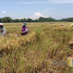 Wacana Impor Beras, Petani: Tolong Pemerintah Beli ke Petani Saja