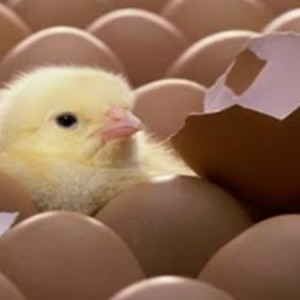 Duluan Mana, Telur atau Ayam? Ini Jawaban Para Ahli!
